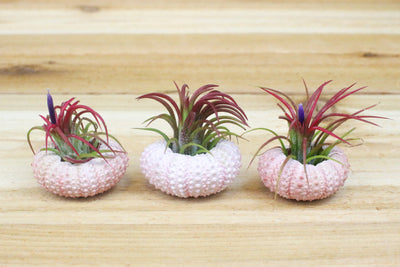 Pink Sea Urchins with Tillandsia Air Plants - Set of 3 from AirPlantShop.com