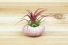 Pink Sea Urchins with Tillandsia Air Plants - Set of 3