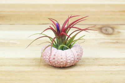 Wholesale: Pink Urchin Seashell with Air Plant [Min Order 12] from AirPlantShop.com