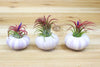 Pretty Purple Sea Urchins with Air Plants - Set of 3