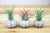 Sputnik Shells with Air Plants - Set of 3