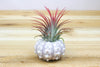 Sputnik Shells with Air Plants - Set of 3 from AirPlantShop.com