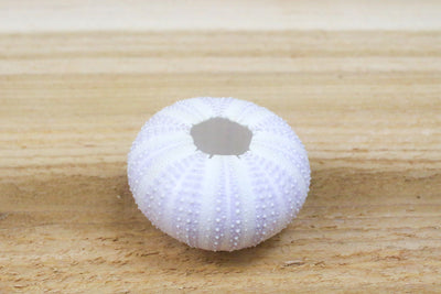 Wholesale: Purple Urchin Seashell with Air Plant  [Min Order 12]