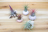 Seashell Collection with Air Plants - Set of 5