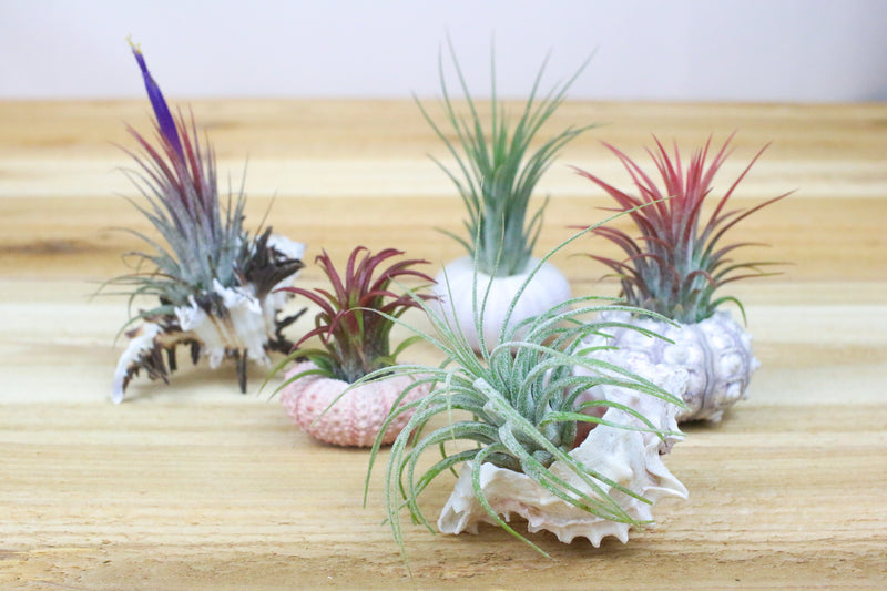 Wholesale: Custom Assortment of Sealife Containers with Air Plants [Min Order 12]