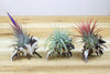 Longspine Murex Shells with Tillandsia Air Plants - Set of 3 from AirPlantShop.com