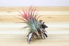 Wholesale: Longspine Murex Seashell with Air Plant  [Min Order 12]