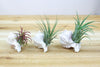Set of 3 Pink Murex Shells with Air Plants