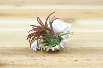 Wholesale: Pink Murex Seashell with Air Plant  [Min Order 12]