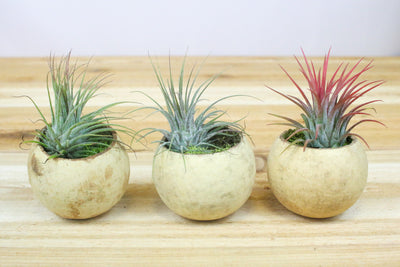 Trio of Seed Pod Containers with Assorted Ionantha Plants