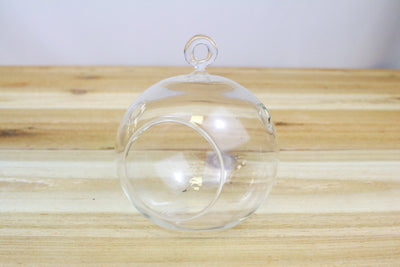 Wholesale: Flat Bottom Hanging Globe Terrarium with Black Stones and Air Plant [Min Order 12]