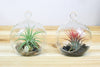Wholesale: Flat Bottom Hanging Globe Terrarium with River Stones and Air Plant [Min Order 12]