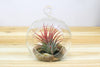 Hanging Glass Air Plant Terrarium with Flat Bottom - Includes River Stones & Air Plant
