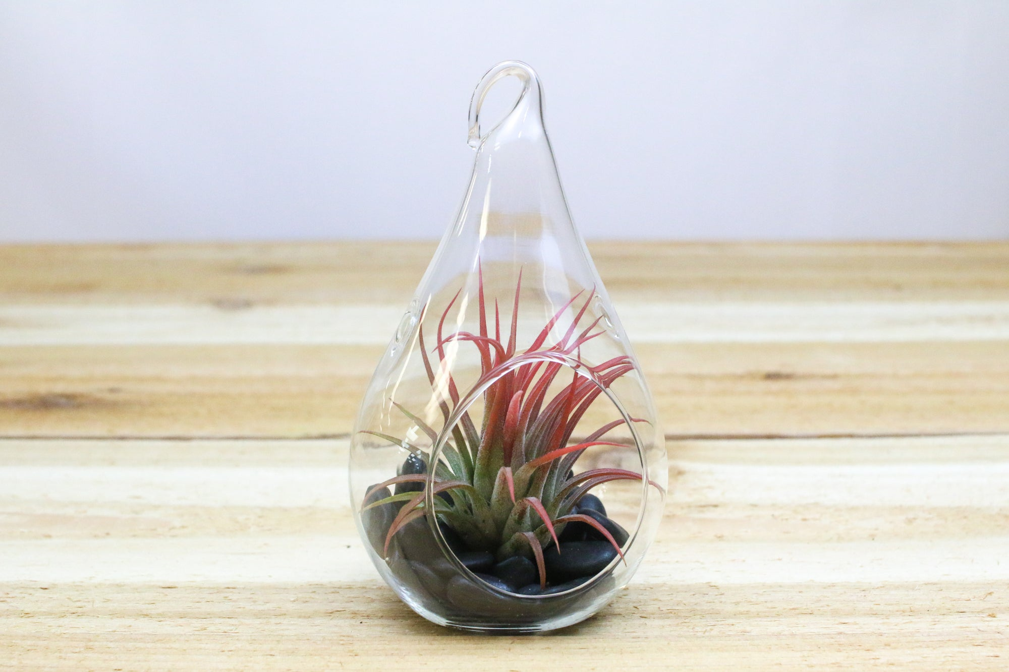 Wholesale: Teardrop Black Stone Terrarium with Air Plant [Min Order 12] from AirPlantShop.com