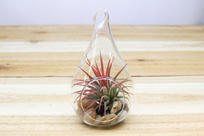 Wholesale: Teardrop Hanging Globe Terrariums [Min Order 48]
