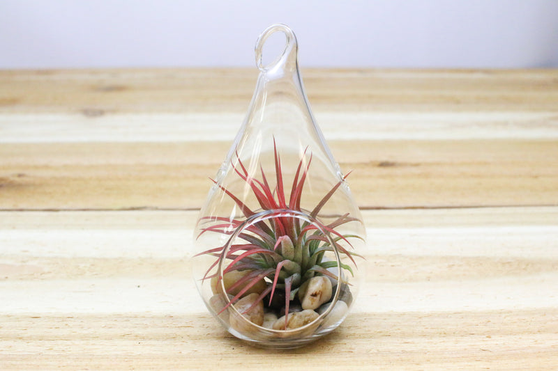 Wholesale: Teardrop Hanging Globe Terrariums [Min Order 12] from AirPlantShop.com