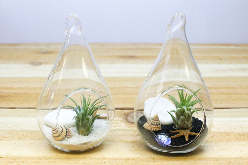 Wholesale: Teardrop Black Beach Terrarium with Air Plant [Min Order 12]