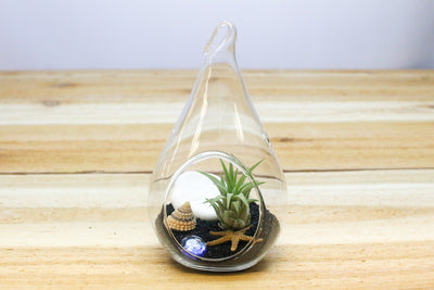Air Plant Beach in a Teardrop - Includes Glass Terrarium, Air Plant, Black Sand & Seashells from AirPlantShop.com