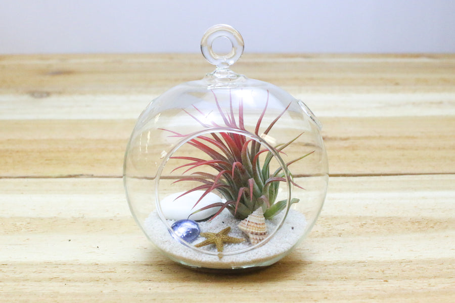 hanging beach air plant terrarium with flat bottom includes white sand shells u0026