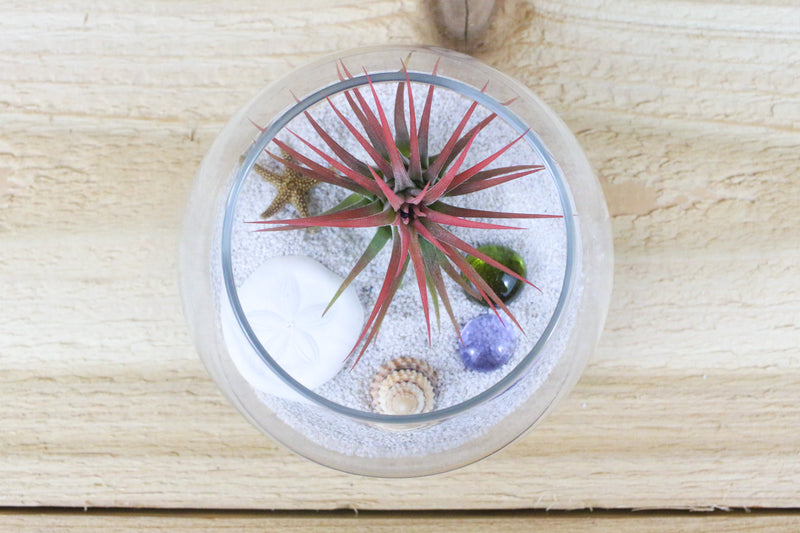 Two Complete Bubble Beach Glass Terrarium Kits with Air Plants from AirPlantShop.com