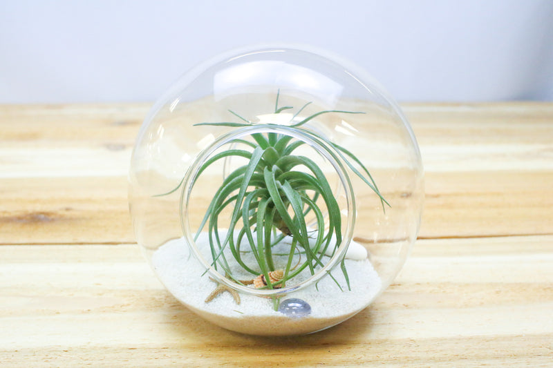 5.5 Inch Glass Terrarium with two Open Ends from AirPlantShop.com