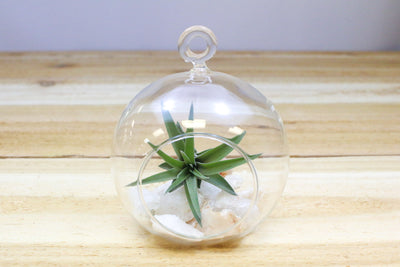 Wholesale: Rose Quartz Terrariums with Custom Air Plant in Flat Bottom Globe [Min Order 12]