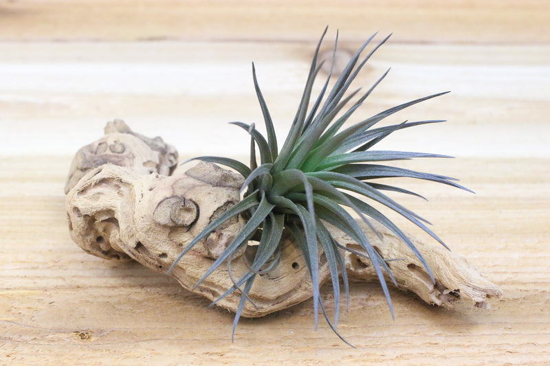 "Wholesale: ""Twig"" Size Sandblasted Grapewood Branch with 1 Air Plant [Min Order 12] from AirPlantShop.com"