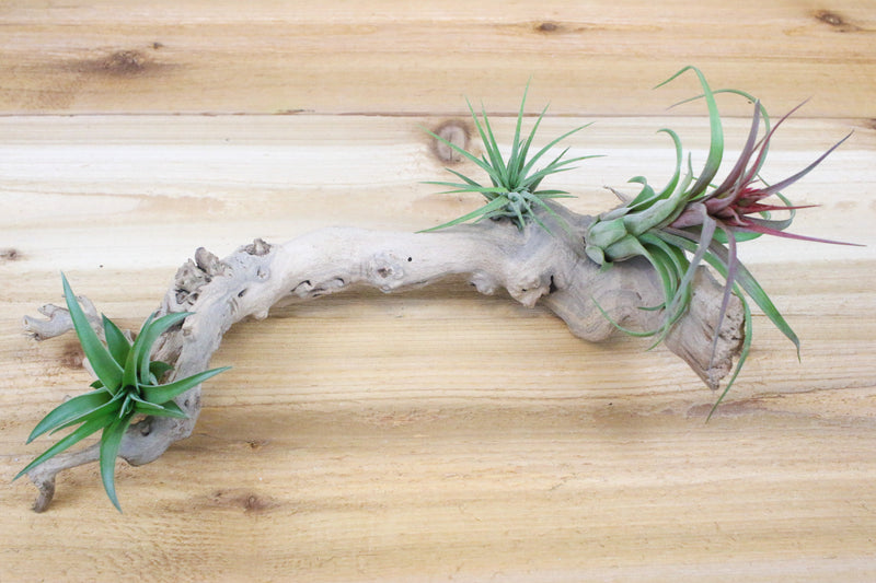 Sandblasted Grapevine Wood [Small Size + 3 Air Plants] from AirPlantShop.com
