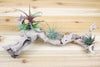 Wholesale: Small Sandblasted Grapewood Branch with 3 Air Plants [Min Order 12]