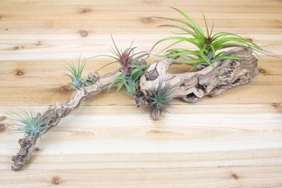 Sandblasted Grapevine Wood [Large Size + 5 Air Plants ] from AirPlantShop.com