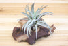 African Mopani Wood [Mini Size + 1 Air Plant]