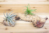 African Mopani Wood [Medium Size + 3 Air Plants] from AirPlantShop.com