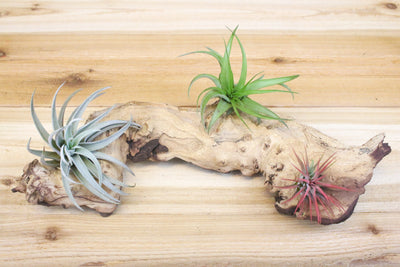 Wholesale: Medium Mopani Root with 3 Air Plants [Min Order 12]