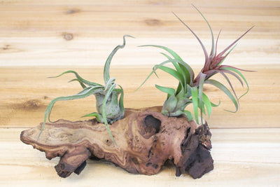 Wholesale: Small Mopani Root with 2 Air Plants [Min Order 12]