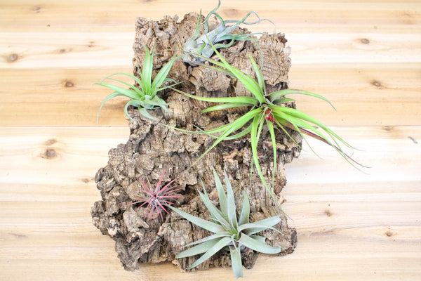 Large Cork Tree Bark with 5 Air Plants - 10 inch x 16 inch bark with five air plants and glue from AirPlantShop.com