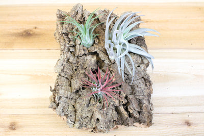 Medium Cork Tree Bark with Three Air Plants - 7 inch x 9 inch bark with 3 air plants and glue