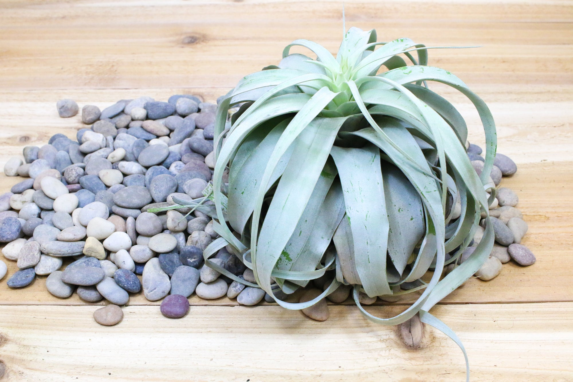 Tillandsia Xerographica - Jumbo Size: 8 to 10 Inches Wide [Single Plant] from AirPlantShop.com