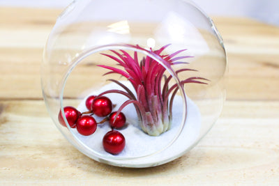 Wholesale: Holiday Globes with White Sand - Living Terrarium Ornaments [Min Order 12] from AirPlantShop.com