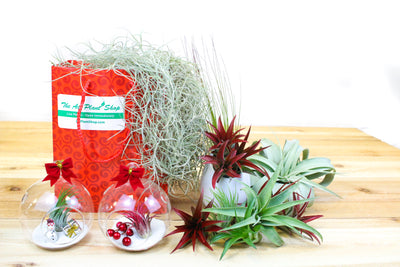 Gift Wrapped Collection of 5 Ionantha Air Plants in a Bed of Spanish Moss