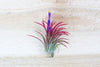 Sale: 30% Off [5, 10 or 20 Pack] Ionantha Fuego Air Plants from AirPlantShop.com