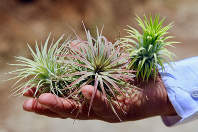 Sale: 40% Off [10 or 20 Pack] Extra Large Ionantha Rubra Air Plants from AirPlantShop.com
