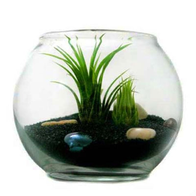 Wholesale Pura Vida Terrarium with Air Plants