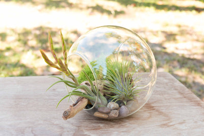 Stay Home DIY Terrarium Kit with Blooming Medusa, Ionantha and Downloadable Lesson Plan + Activities from AirPlantShop.com