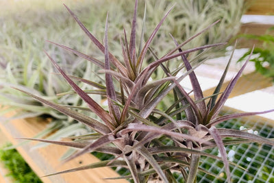 Purple Tillandsia Jonesii Clumps - Rare Plant at a Great Price from AirPlantShop.com