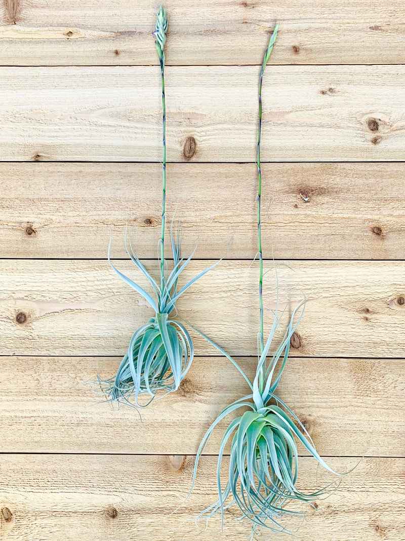 Post Bud - Tillandsia Straminea Thick Leaf Air Plants with Pups from AirPlantShop.com