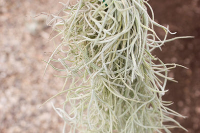 Sale: 25% Off [3 or 6 Pack] Colombian Thick Spanish Moss / Tillandsia Usneiodes Clumps from AirPlantShop.com