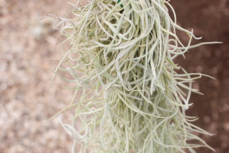 Colombia Thick Spanish Moss / Tillandsia Usneoides - 2 Foot Long Clump With Wire Hanger [1, 3 or 5 Pack] from AirPlantShop.com