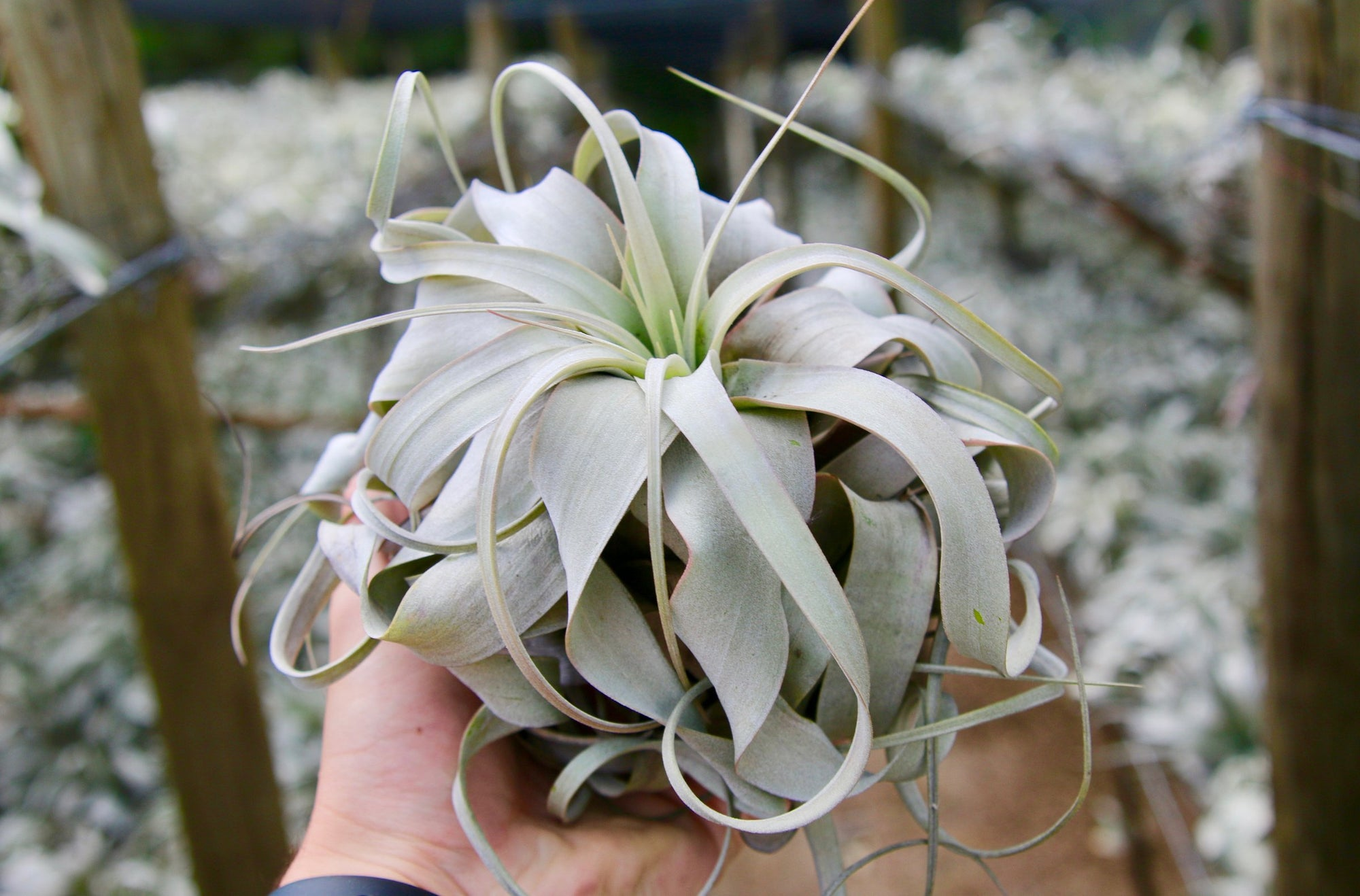 Wholesale: Medium Tillandsia Xerographica Air Plants / 5-6 Inches Across [Min Order 12] from AirPlantShop.com