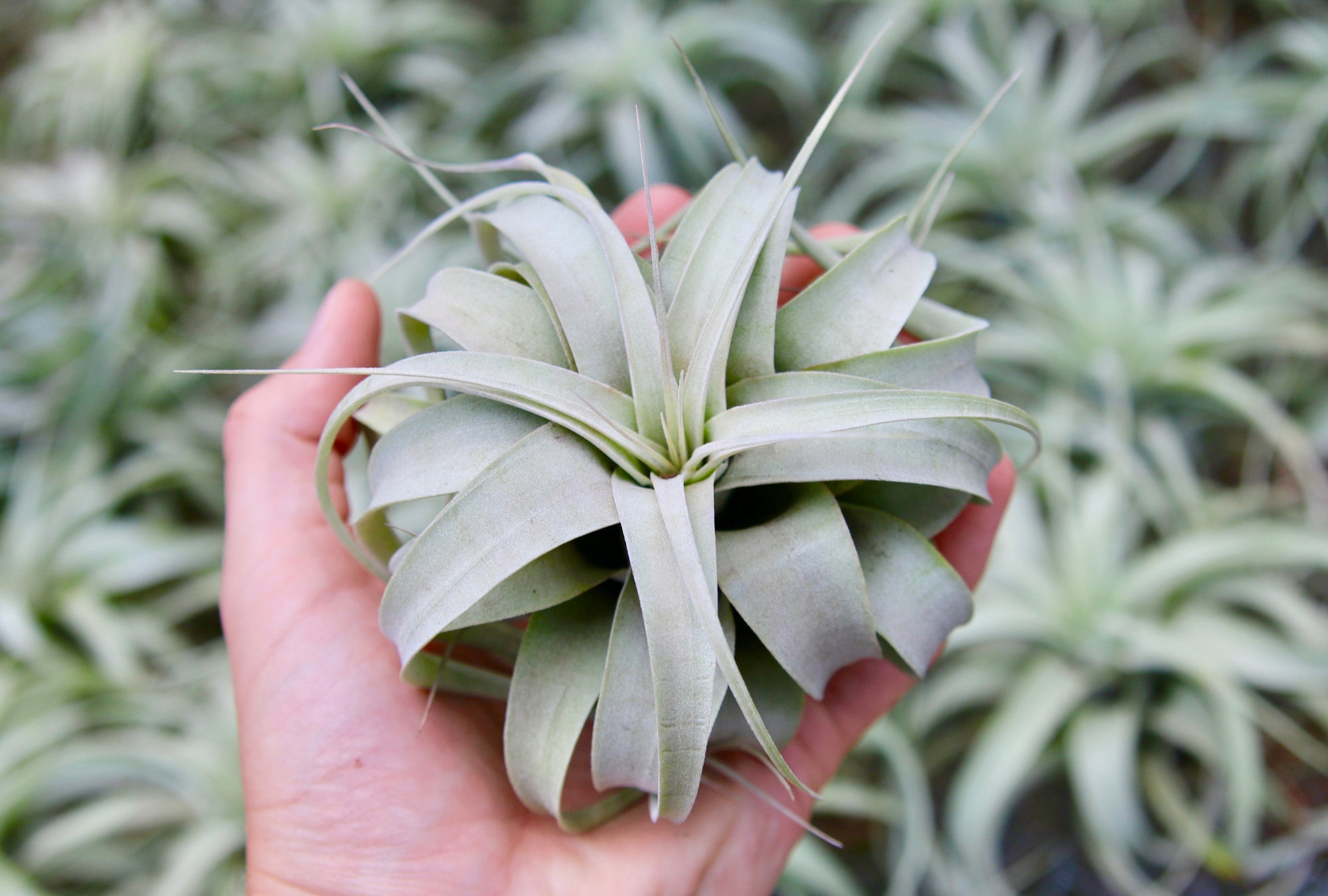 Wholesale: Small Tillandsia Xerographica Air Plants / 4-5 Inches Across [Min Order 12] from AirPlantShop.com