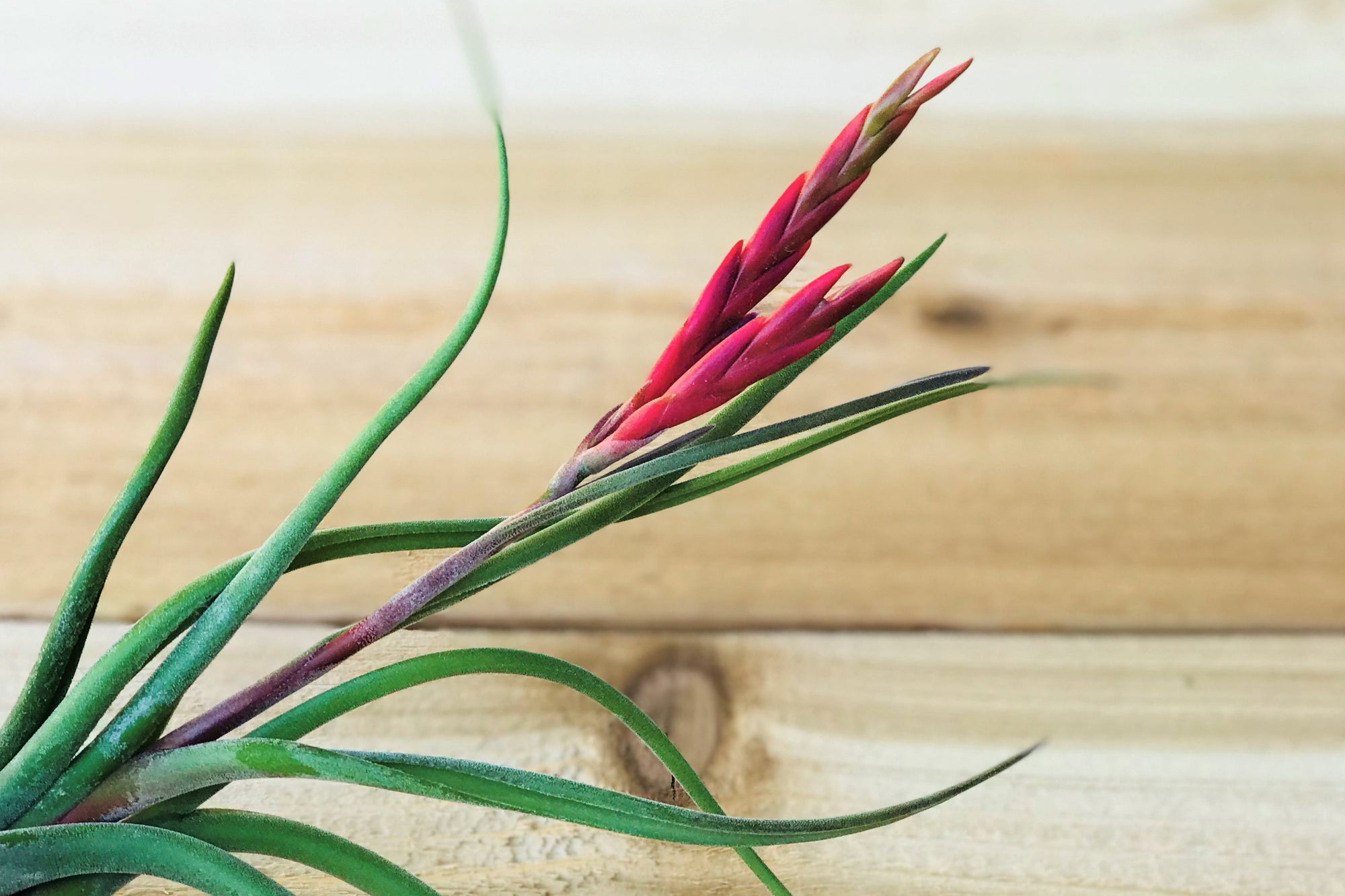 Sale: 50% Off [10, 20 or 50 Pack] Tillandsia Caput-Medusae Air Plants